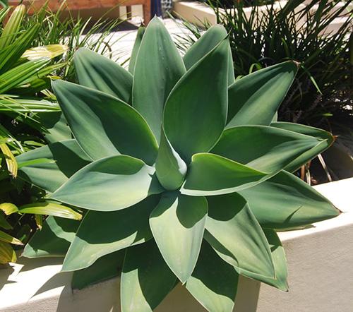 agave-attenuata
