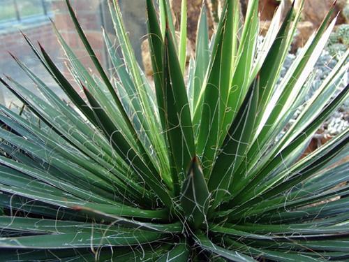 agave-filifera