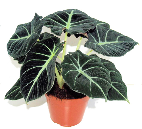 alocasia-black-velvet