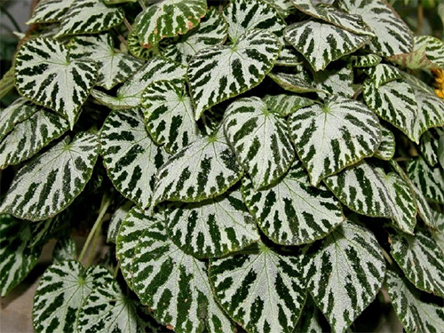 begonia-Imperealis