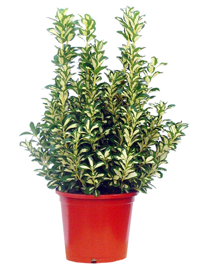 beresklet-euonymus-japonica