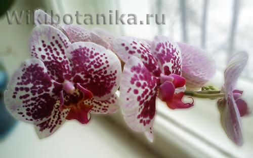orchideya-menyet-cvet-01