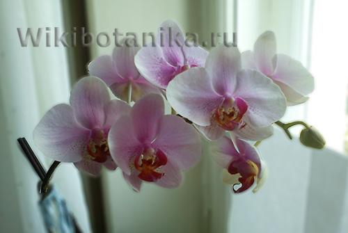 orchideya-menyet-cvet-02