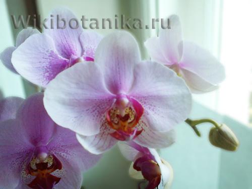 orchideya-menyet-cvet-03