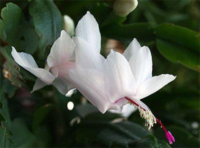 schlumbergera-white-cristmas