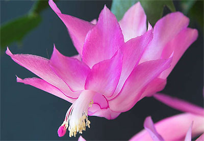 schlumbergera-windsor