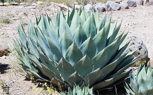 Лекарственное растение агава
