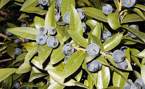 Лекарственное растение мирт