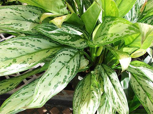 Растения, очищающие воздух - аглаонема