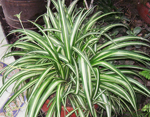 Растения, очищающие воздух - хлорофитум