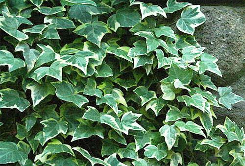 Растения, очищающие воздух - плющ