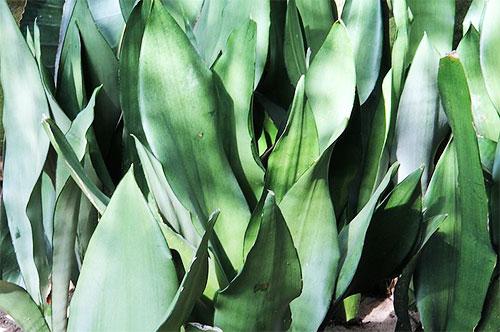 Растения, очищающие воздух - сансевиерия