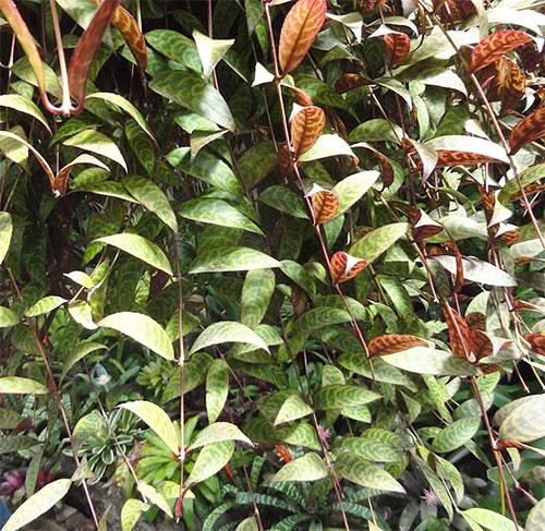 aeschynanthus-marmoratus-t-moore