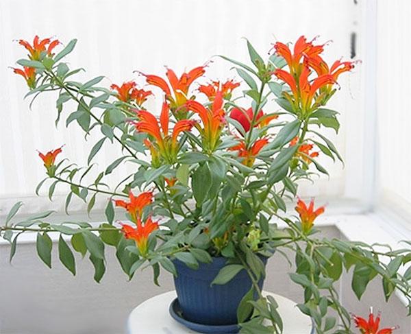 aeschynanthus-speciosus