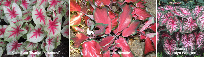 Сорта каладиума