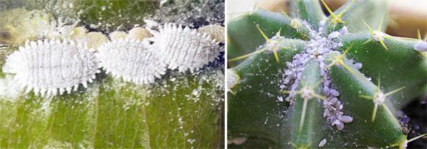 Растения зараженные мучнистым червецом