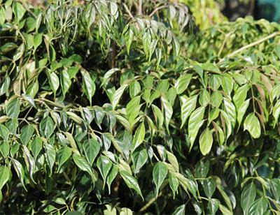 Радермахера листья