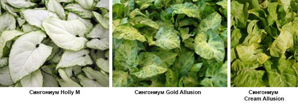 Сингониум Holly M, Gold Allusion, Cream Allusion