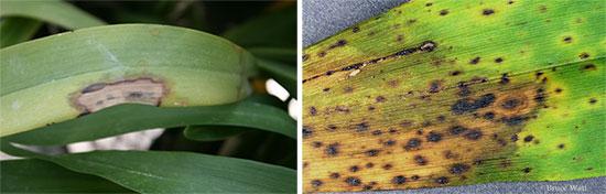 Антракноз на орхидее