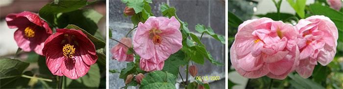 Розовый комнатный клен сорта
