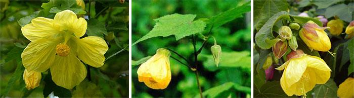 Желтые сорта абутилона