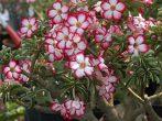 Цветок сциндапсус