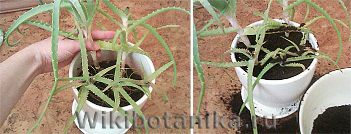Высадка растения в плошку