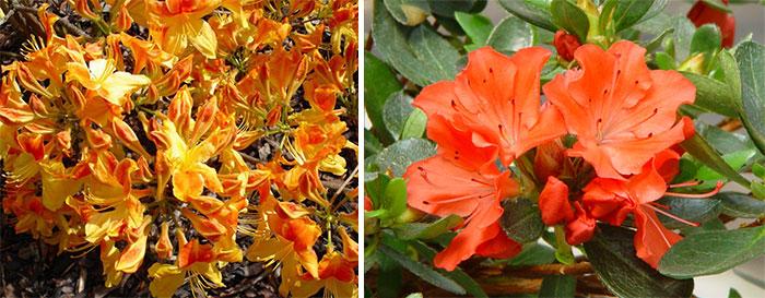 Оранжевые рододендроны