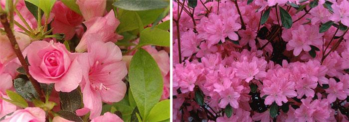 Розовые рододендроны