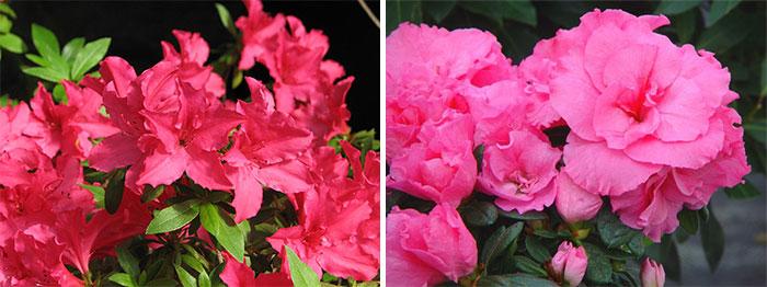 Розовые азалии