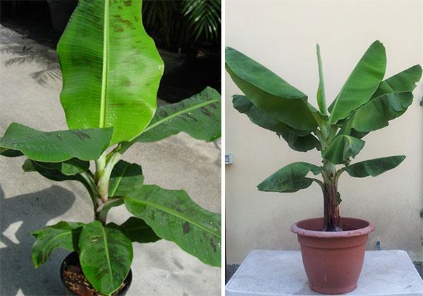 Плодоносящие виды домашнего банана