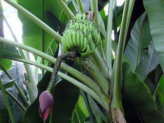 Банан домашний