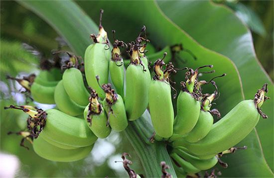 Плоды комнатного банана