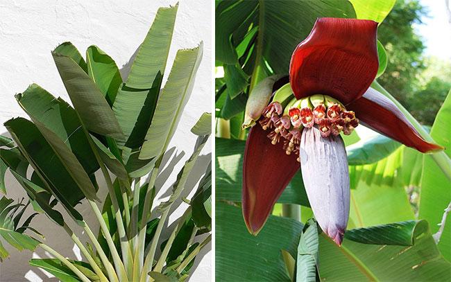 Банан растение