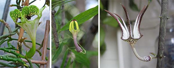 Цветение различных видов церопегий