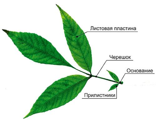 Размножение растений с помощью частей стебля википедия
