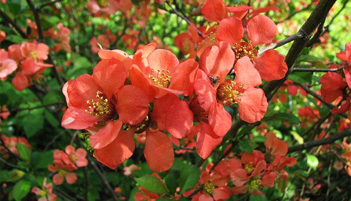 Цветущий кустарник айва