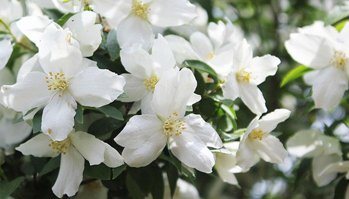 Цветущий кустарник чубушник