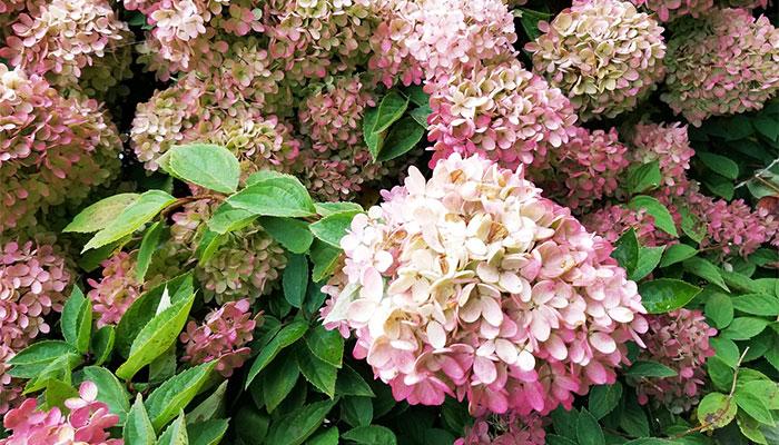 Цветущий кустарник гортензия