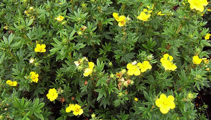 Цветущий кустарник лапчатка