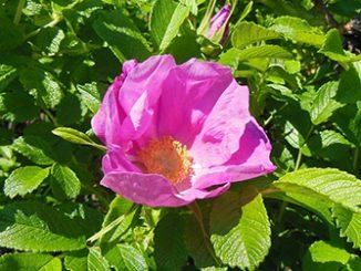 Цветы, которые нельзя сажать на участке