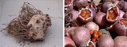 Корень и семена цикламена