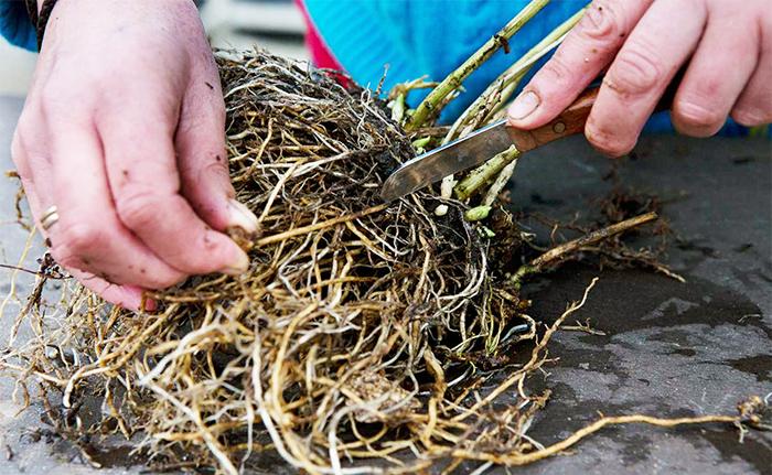 Деление многолетников с мочковатым корнем