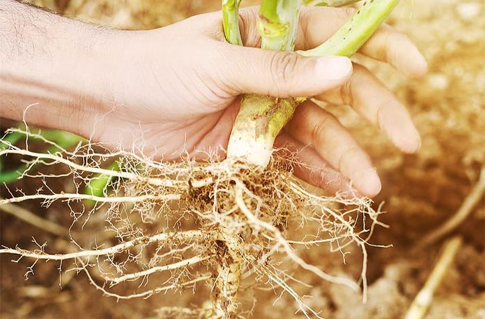 Деление растений со стержневым корнем