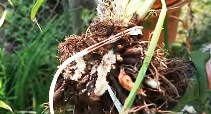 Размножение растений делением