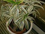 Растение диффенбахия