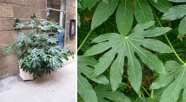Фатсия в плошке, листья кустарника