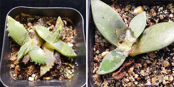 Фузариоз домашних растений