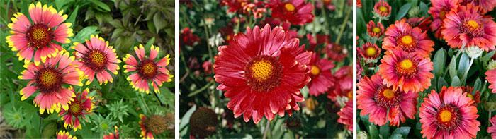 Сорта крупноцветковой гайлардии