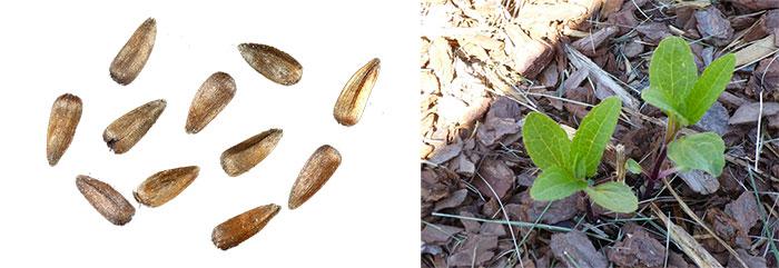 Семена и ростки